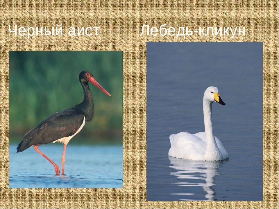 Лебедь-кликун Черный аист