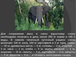 Для сохранения веса и силы взрослому слону необходимо получать в день около 2