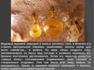 Медовый муравей, живущий в южных регионах США, в Мексике и в странах Централь