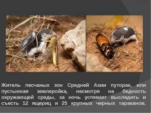 Житель песчаных зон Средней Азии путорак, или пустынная землеройка, несмотря