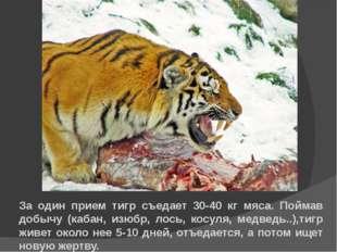За один прием тигр съедает 30-40 кг мяса. Поймав добычу (кабан, изюбр, лось,