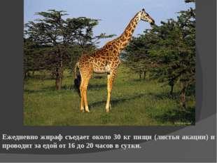Ежедневно жираф съедает около 30 кг пищи (листья акации) и проводит за едой о