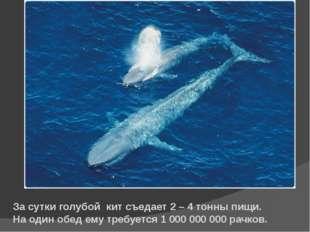 За сутки голубой кит съедает 2 – 4 тонны пищи. На один обед ему требуется 1 0