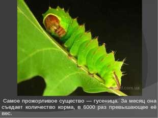 *Самое прожорливое существо — гусеница. За месяц она съедает количество корма