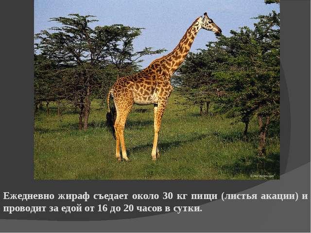 Ежедневно жираф съедает около 30 кг пищи (листья акации) и проводит за едой о...
