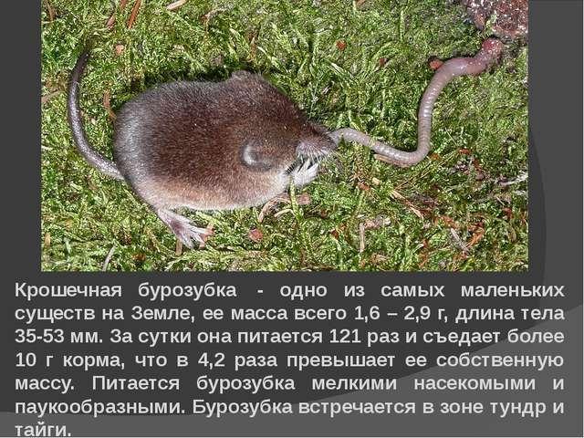 Крошечная бурозубка - одно из самых маленьких существ на Земле, ее масса все...