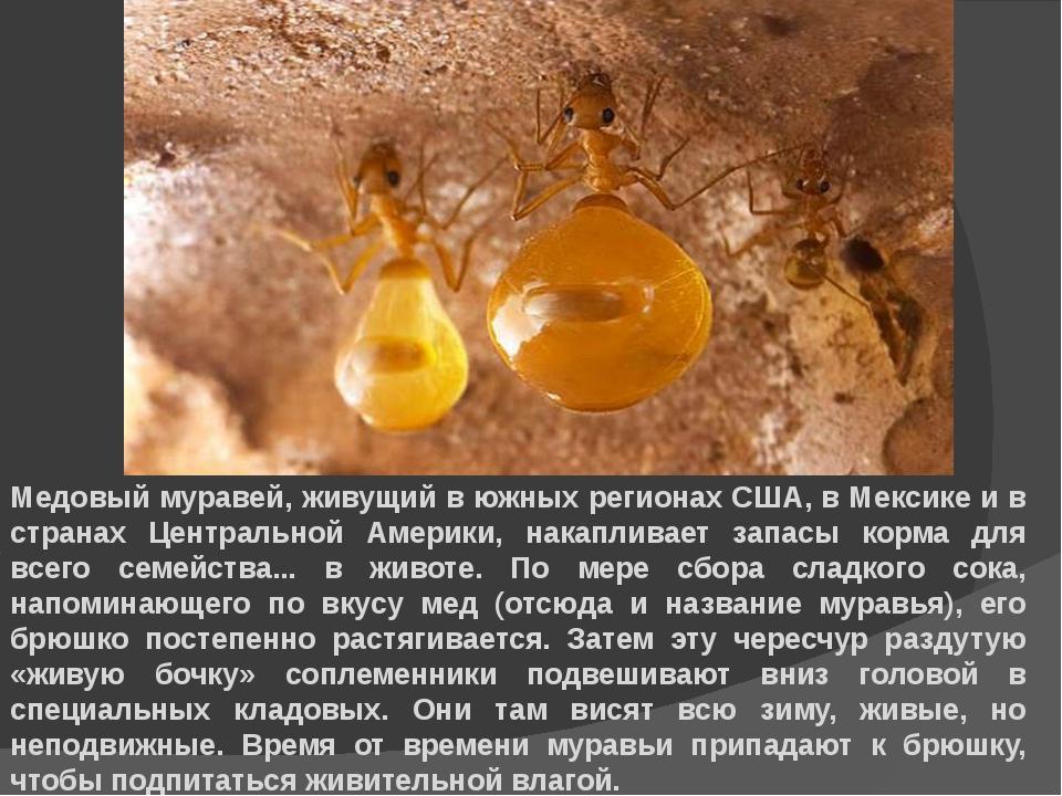 Медовый муравей, живущий в южных регионах США, в Мексике и в странах Централь...