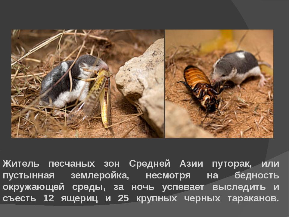 Житель песчаных зон Средней Азии путорак, или пустынная землеройка, несмотря...