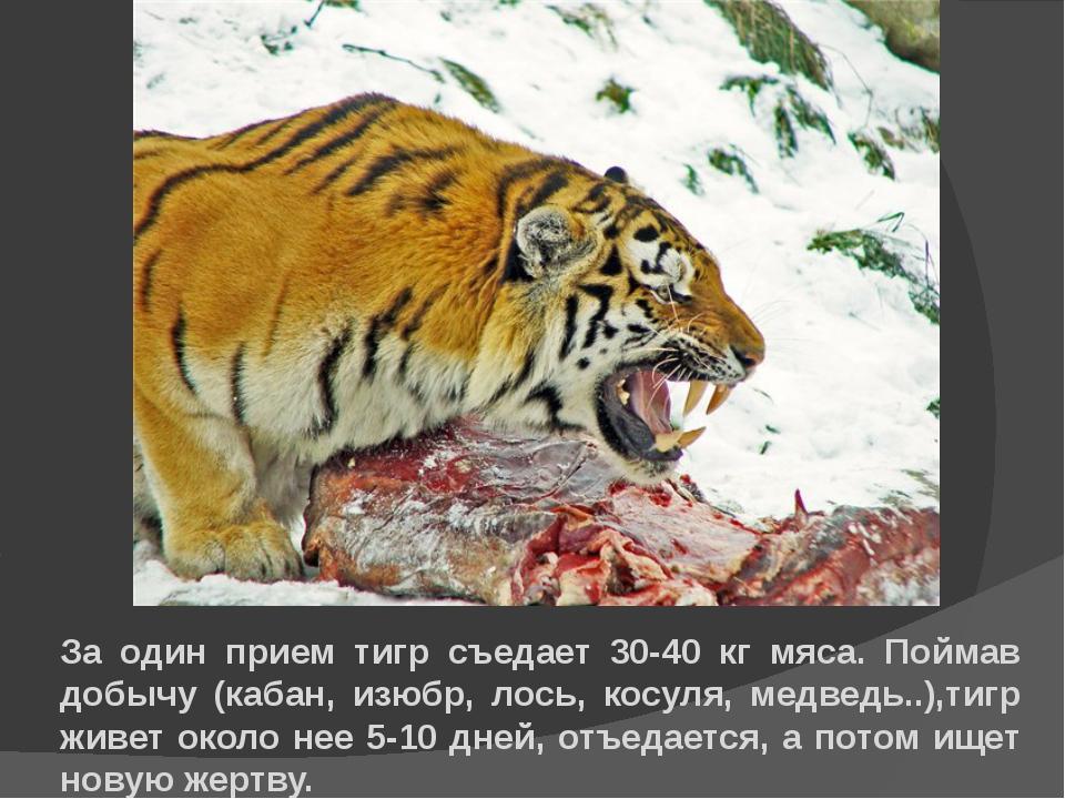 За один прием тигр съедает 30-40 кг мяса. Поймав добычу (кабан, изюбр, лось,...