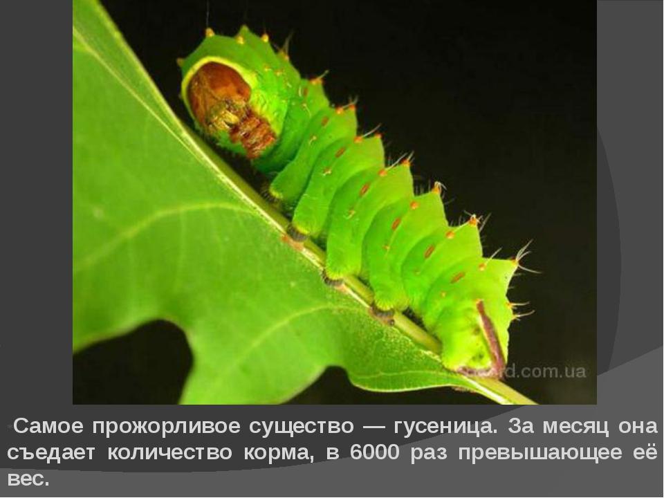 *Самое прожорливое существо — гусеница. За месяц она съедает количество корма...