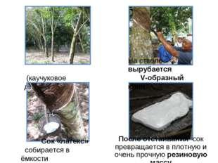 Гевея (каучуковое дерево) На стволе вырубается V-образный клин Сок «латекс»