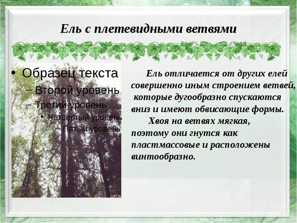 Ель с плетевидными ветвями Ель отличается от других елей совершенно иным стро...