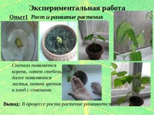 Экспериментальная работа Опыт1 Рост и развитие растения Вывод: В процессе рос