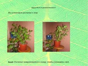 Опыт2 Могут ли растения двигаться? Мы установили растение к окну.  Вывод: Р