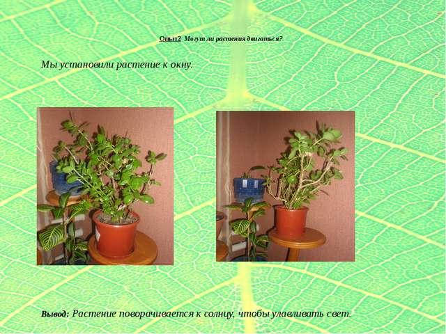 Опыт2 Могут ли растения двигаться? Мы установили растение к окну.  Вывод: Р...