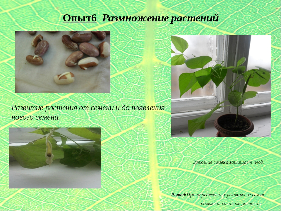 Опыт6 Размножение растений Зреющие семена защищает плод. Вывод:При определённ...