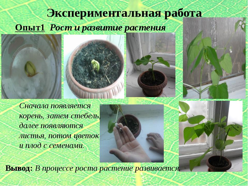 Экспериментальная работа Опыт1 Рост и развитие растения Вывод: В процессе рос...