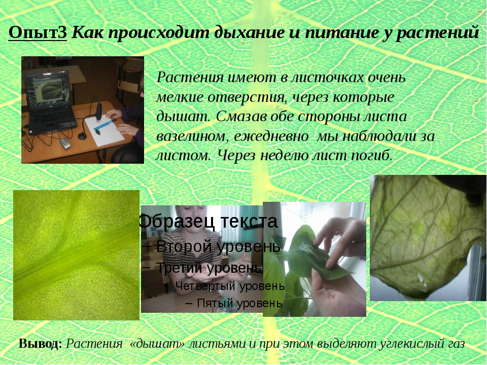 Опыт3 Как происходит дыхание и питание у растений Растения имеют в листочках...