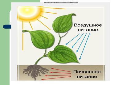 J:\исследовательская работа 3 класс\рисунки и таблицы\pochvennoe_pitanie_rasteniy.jpg