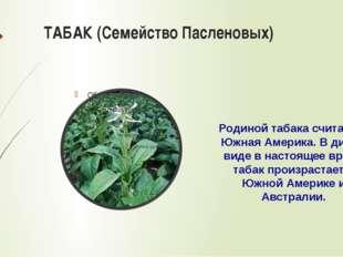 ТАБАК (Семейство Пасленовых) Родиной табака считается Южная Америка. В диком
