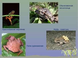 Обыкновенная чесночница Краснобрюхая жерлянка Пипа суринамская Жаба - повитуха