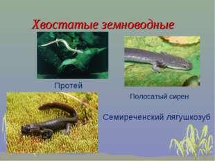 Хвостатые земноводные Протей Полосатый сирен Семиреченский лягушкозуб