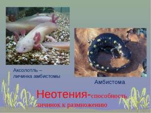 Амбистома Аксолотль – личинка амбистомы Неотения-способность личинок к размно