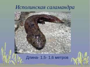 Исполинская саламандра Длина- 1,5- 1,6 метров
