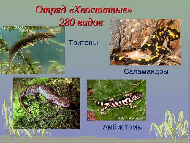 Отряд «Хвостатые» 280 видов Тритоны Саламандры Амбистомы