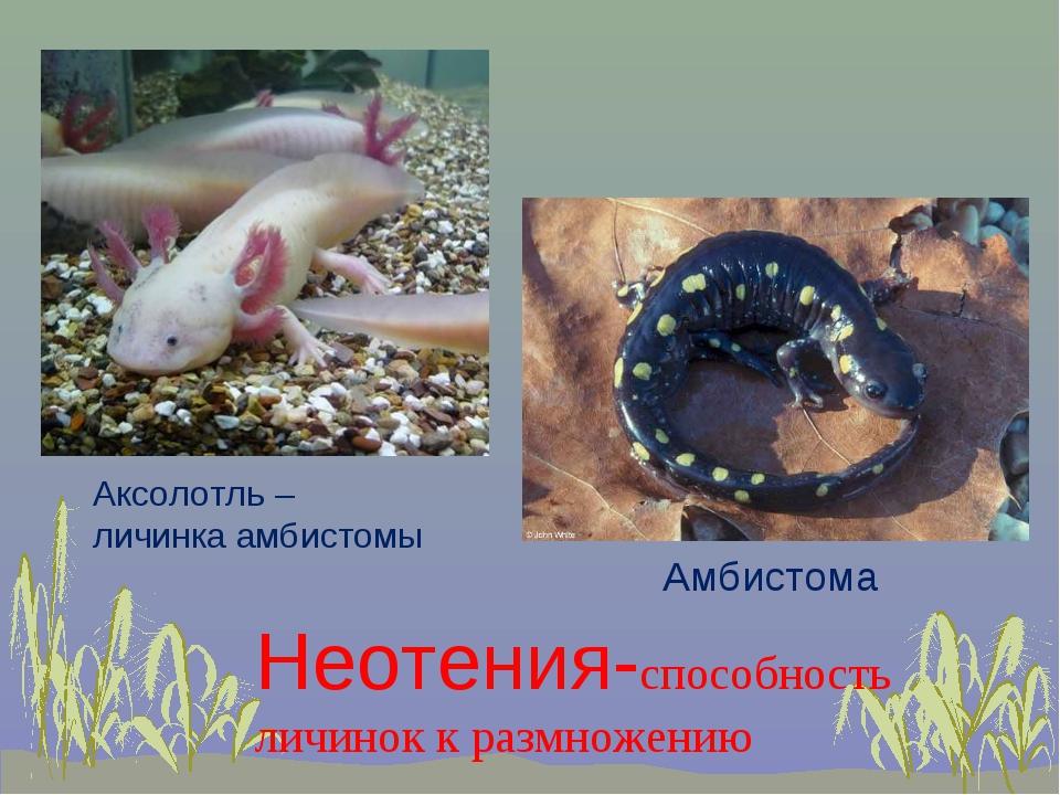 Амбистома Аксолотль – личинка амбистомы Неотения-способность личинок к размно...