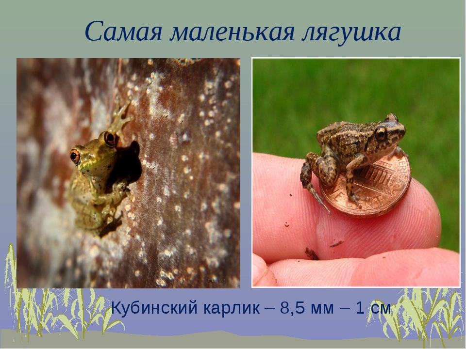 Самая маленькая лягушка Кубинский карлик – 8,5 мм – 1 см