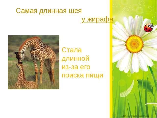 Самая длинная шея у жирафа Стала длинной из-за его поиска пищи