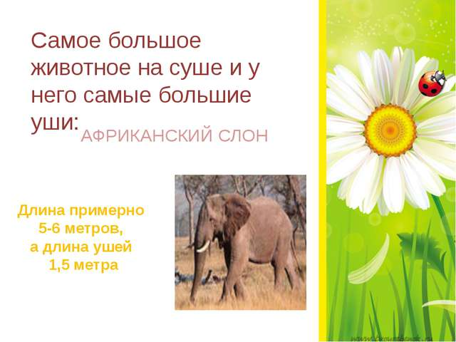 Самое большое животное на суше и у него самые большие уши: АФРИКАНСКИЙ СЛОН...