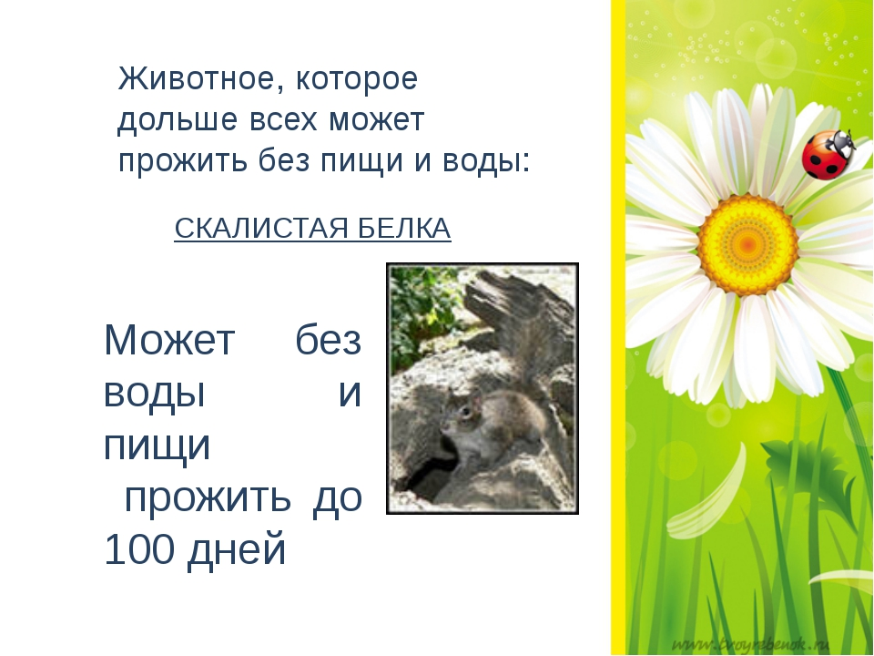 Животное, которое дольше всех может прожить без пищи и воды: СКАЛИСТАЯ БЕЛК...
