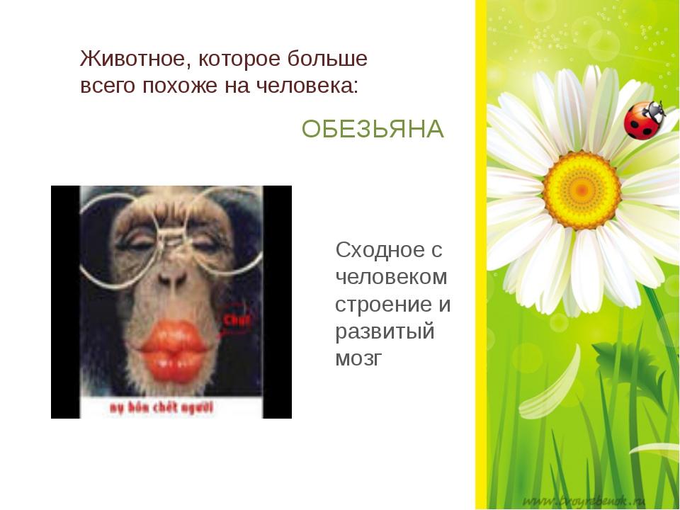 Животное, которое больше всего похоже на человека: ОБЕЗЬЯНА Сходное с челове...