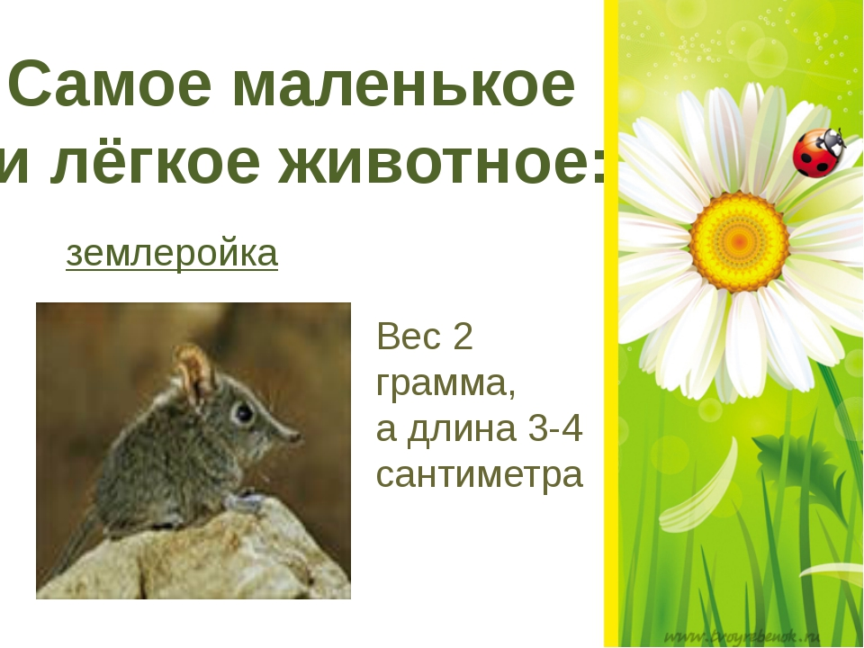 Самое маленькое и лёгкое животное: землеройка Вес 2 грамма, а длина 3-4 сант...