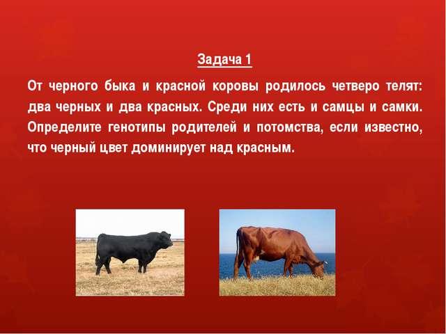 Задача 1 От черного быка и красной коровы родилось четверо телят: два черных...