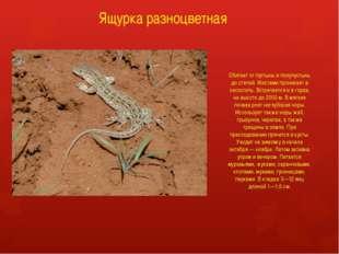 Ящурка разноцветная Обитает от пустынь и полупустынь до степей. Местами прони