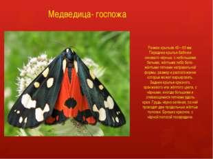 Медведица- госпожа Размах крыльев 45—55 мм. Передние крылья бабочки синевато-