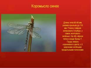 Коромысло синее Длина тела 65-80 мм, размах крыльев до 110 мм. Глаза у самцов