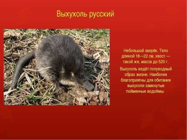 Выхухоль русский Небольшой зверёк. Тело длиной 18—22 см, хвост — такой же, ма...