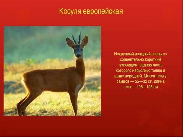Косуля европейская Некрупный изящный олень со сравнительно коротким туловищем...