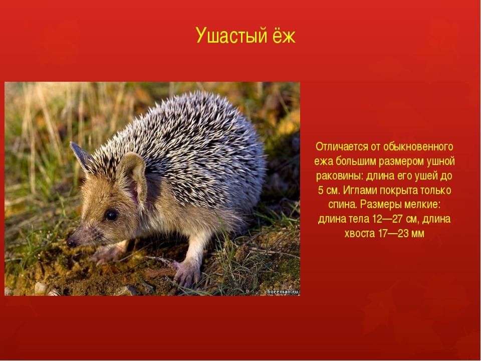 Ушастый ёж Отличается от обыкновенного ежа большим размером ушной раковины: д...
