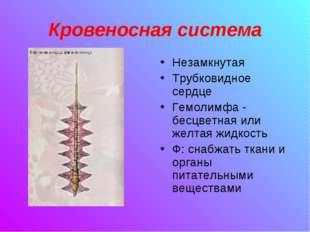 Кровеносная система Незамкнутая Трубковидное сердце Гемолимфа - бесцветная ил