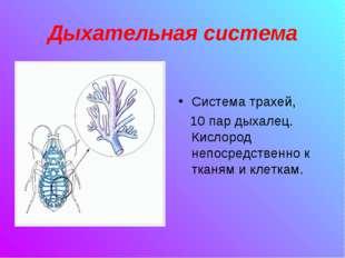 Дыхательная система Система трахей, 10 пар дыхалец. Кислород непосредственно