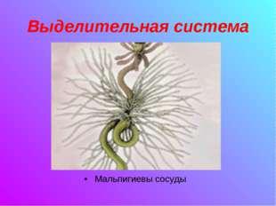 Выделительная система Мальпигиевы сосуды