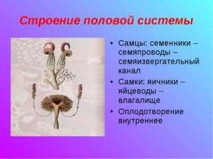 Строение половой системы Самцы: семенники –семяпроводы – семяизвергательный к