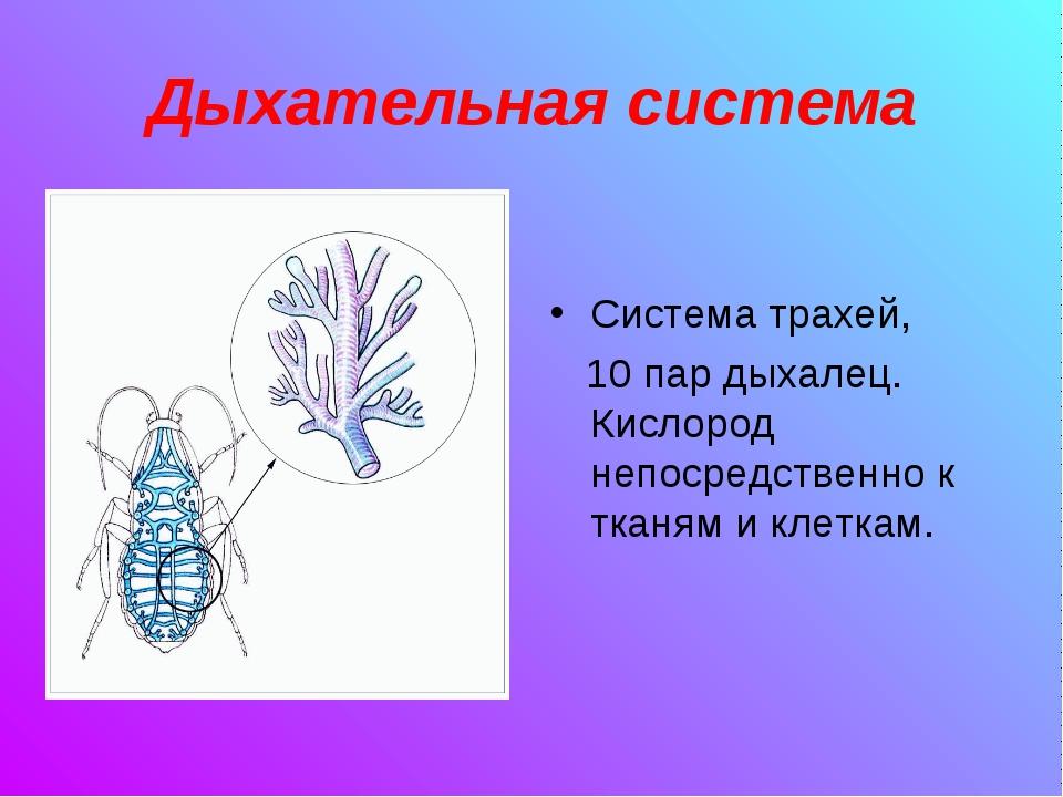 Дыхательная система Система трахей, 10 пар дыхалец. Кислород непосредственно...