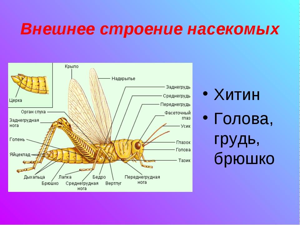 Внешнее строение насекомых Хитин Голова, грудь, брюшко