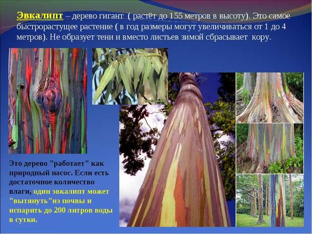 Эвкалипт – дерево гигант ( растёт до 155 метров в высоту). Это самое быстрора...